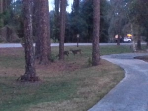 Deer along the scrub pines